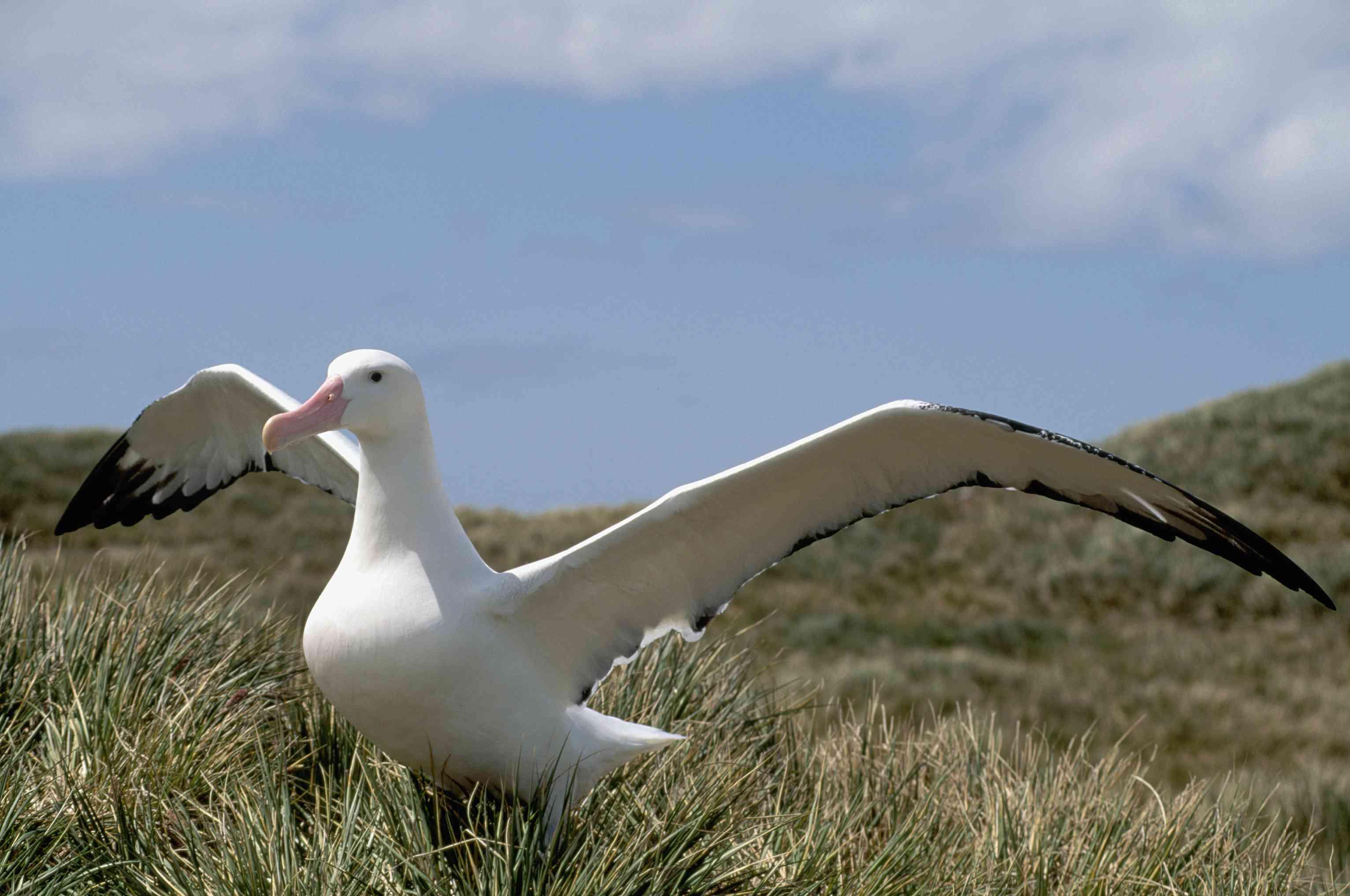Wandering albatross getting ready to fly.