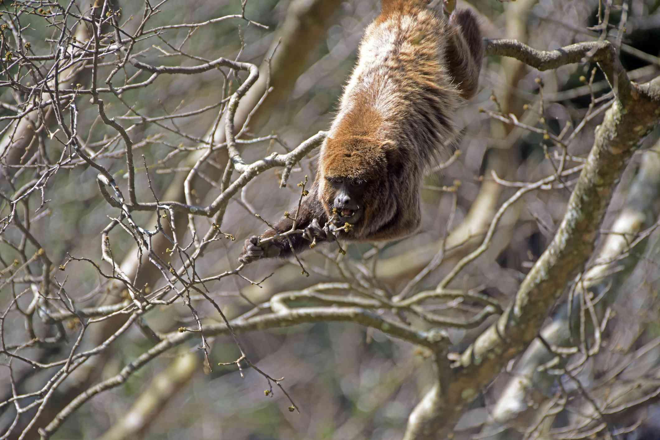 Brown howler monkey in tree