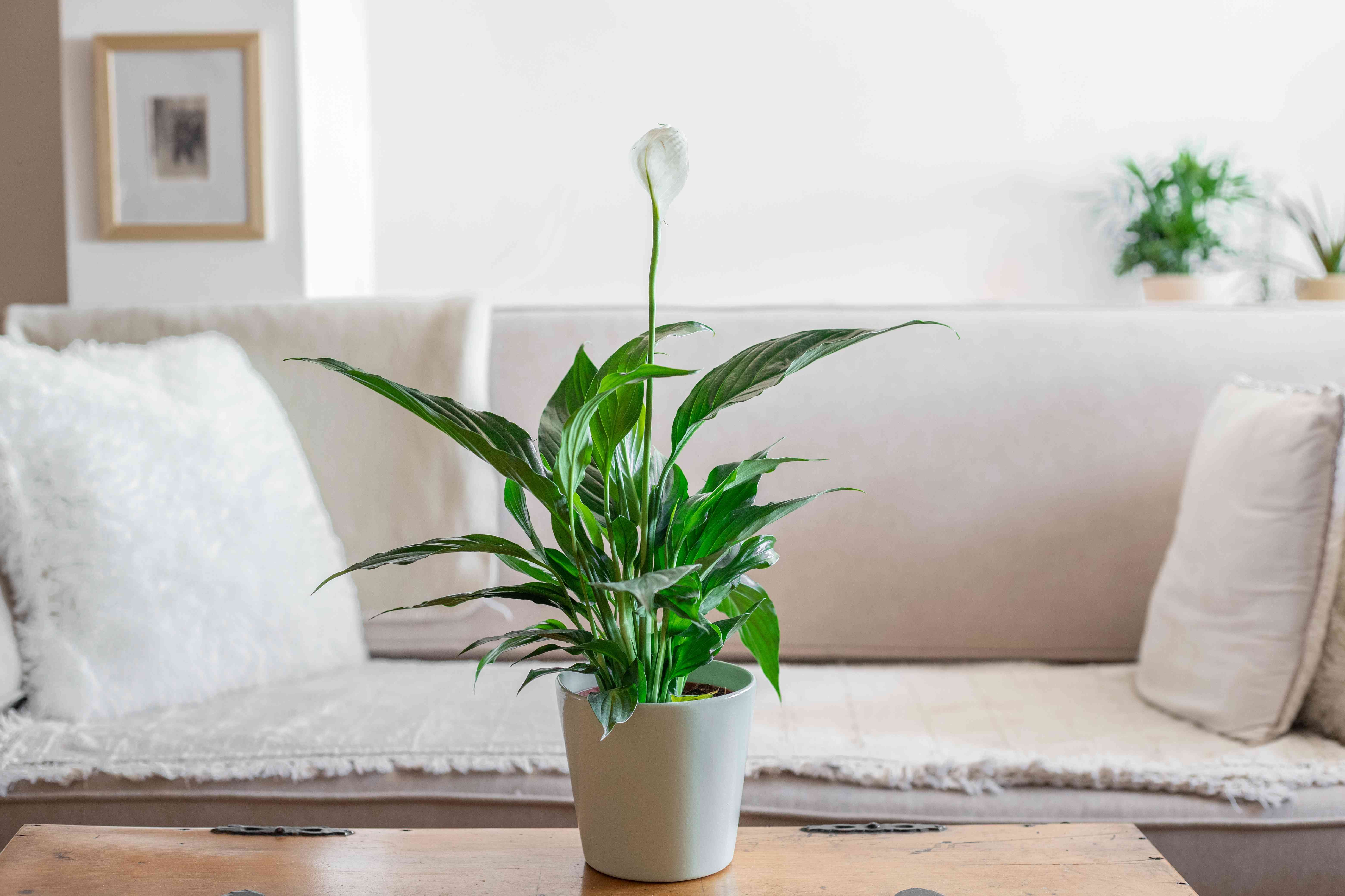 Flowering peace lily on a table in a white living room