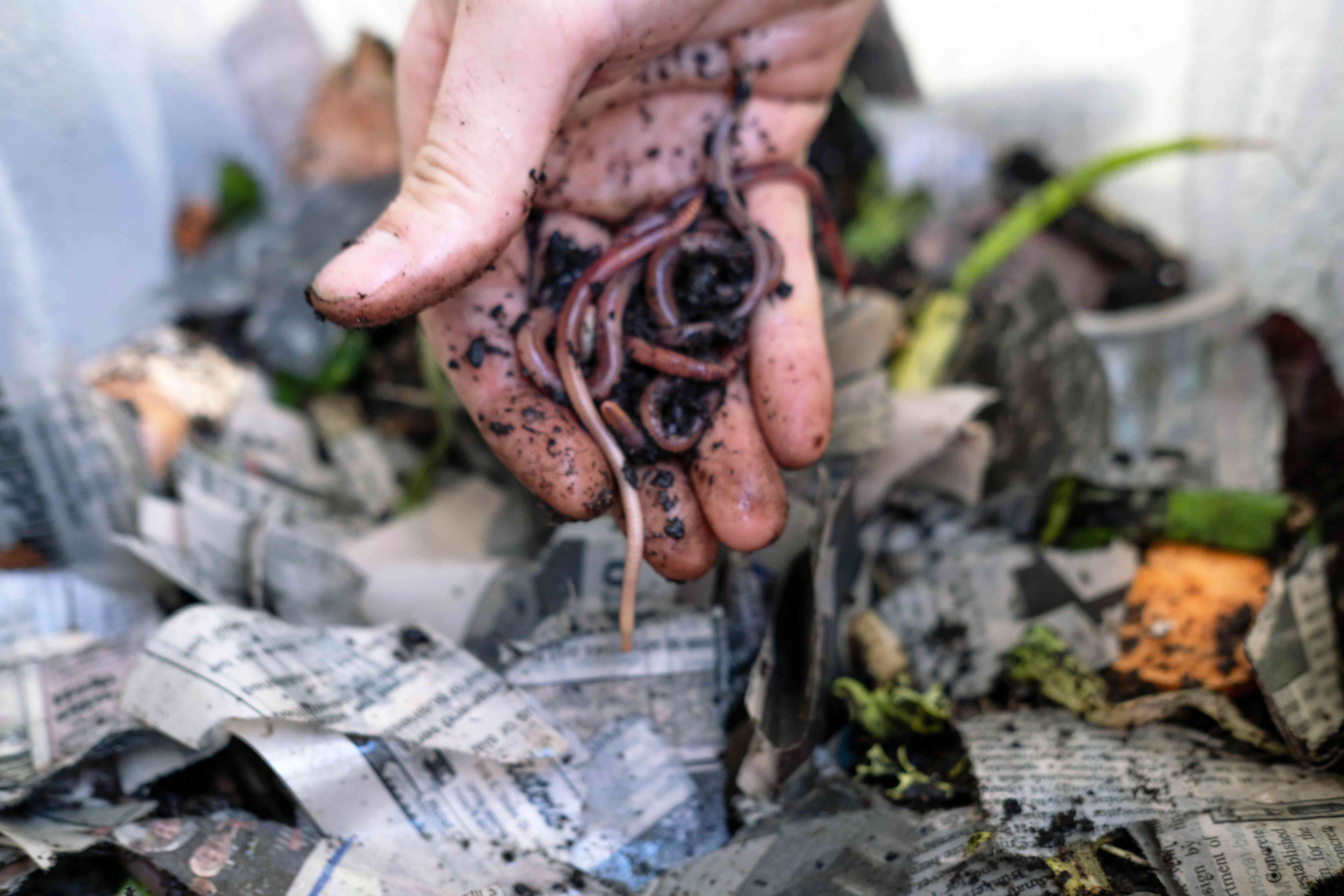 hands drop red wiggler worms into vermicomposting bin with food scraps