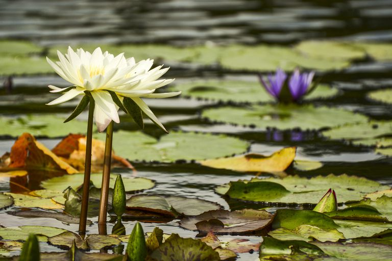 Water lilies bloom above a pond