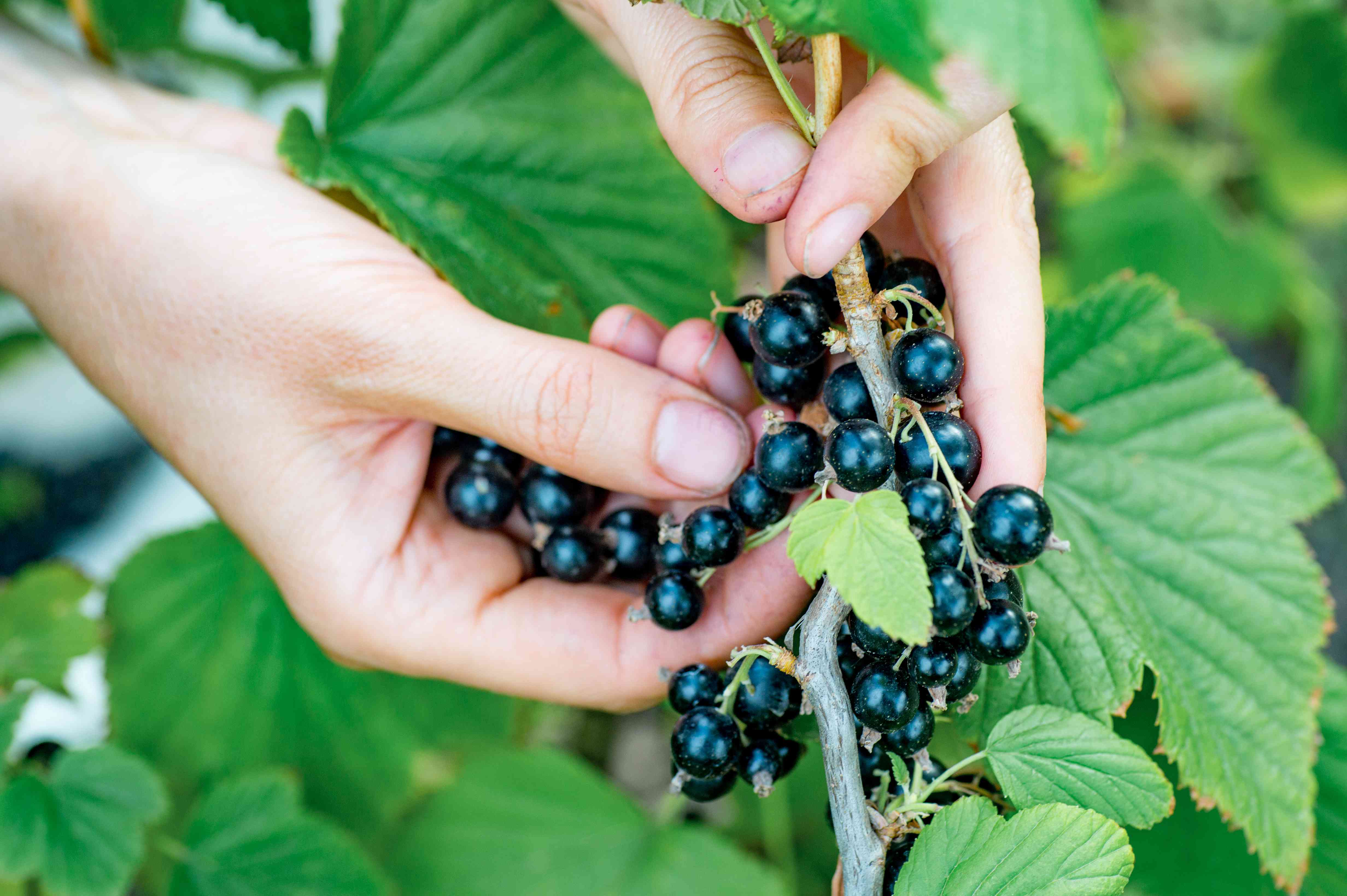 Farmer's hands collecting ripe blackcurrant from the bush