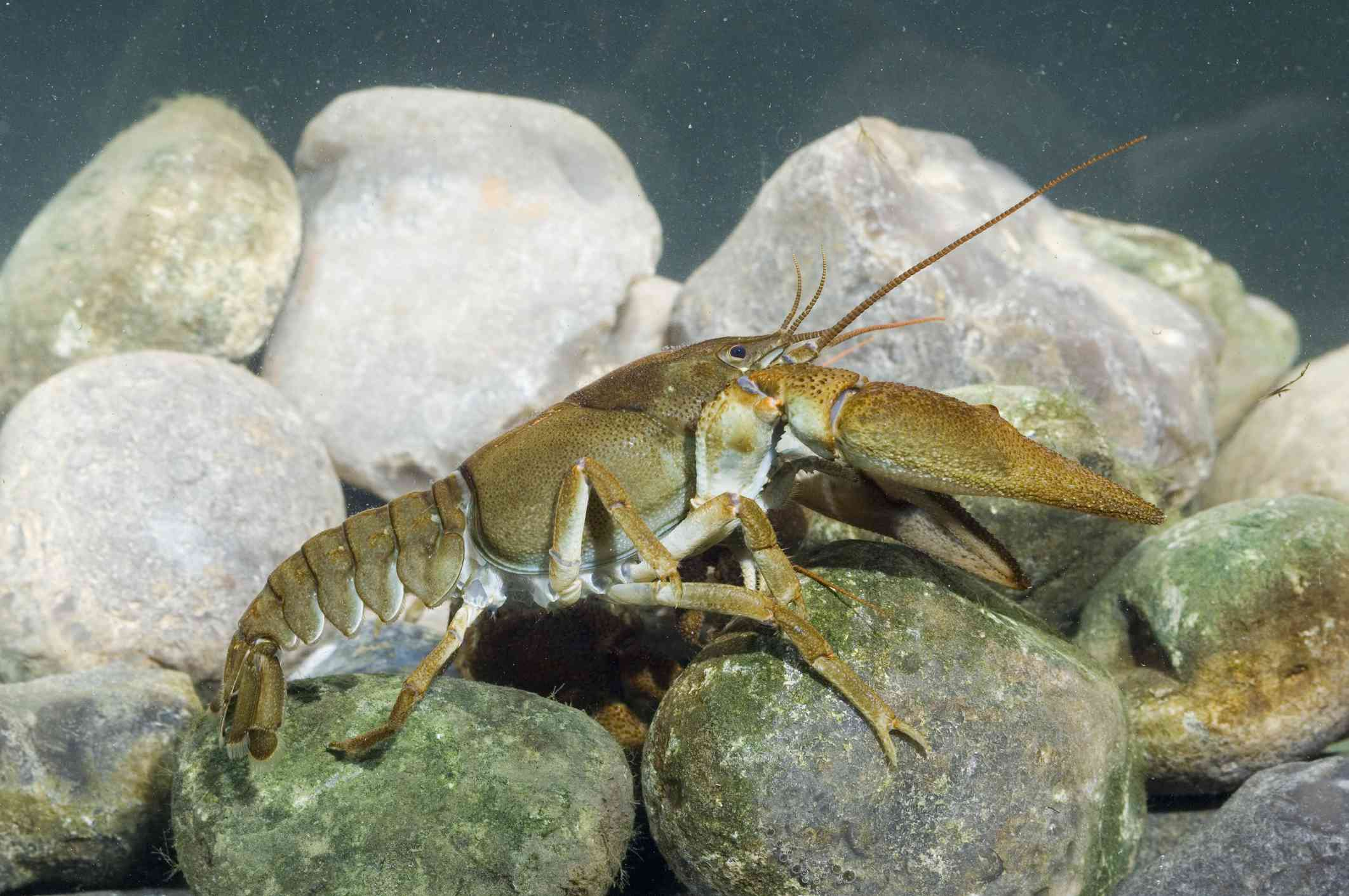 A white-clawed crayfish standing on a pile of gray and white rocks.