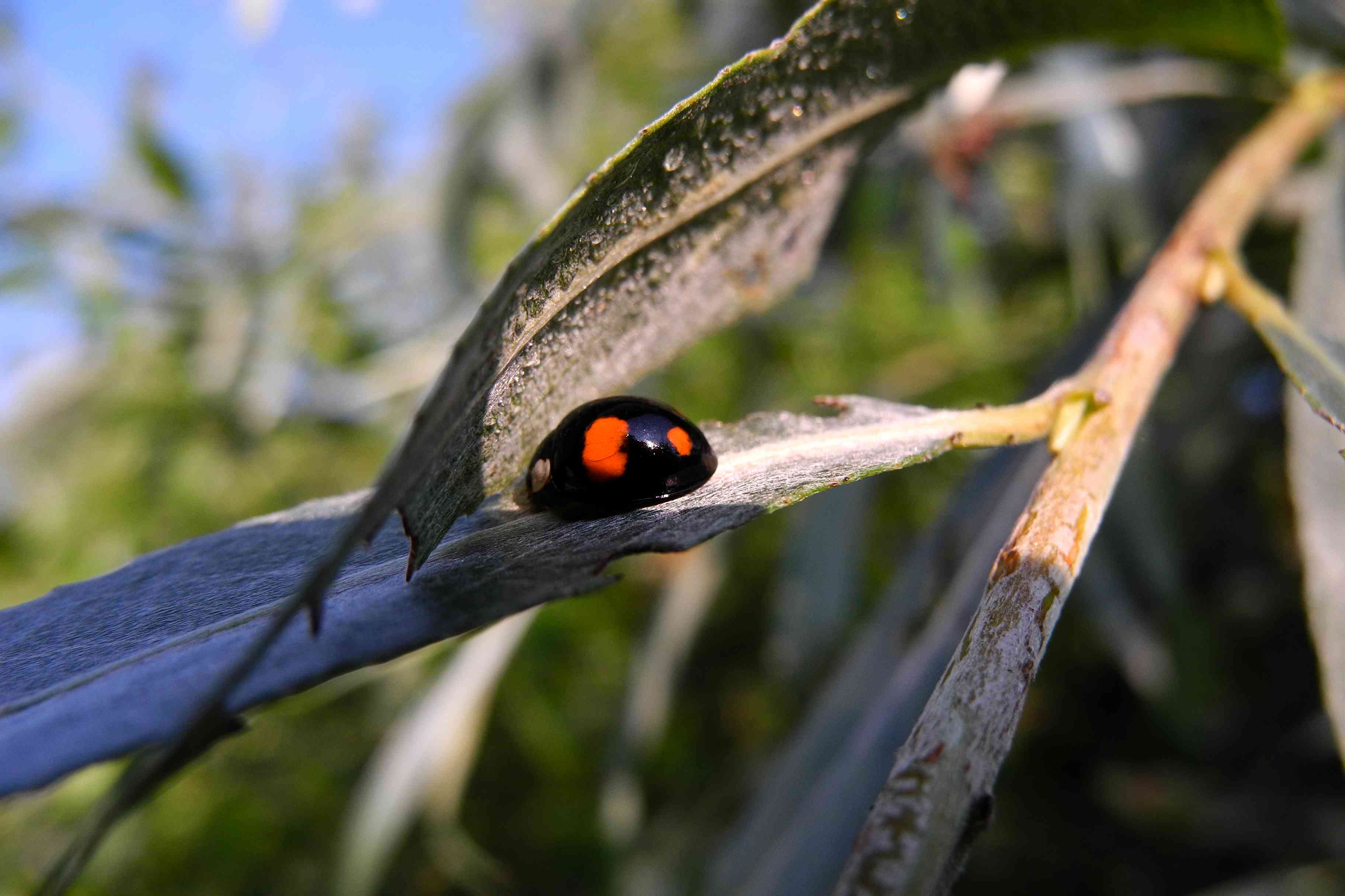 Two-spot black ladybird on willow leaf