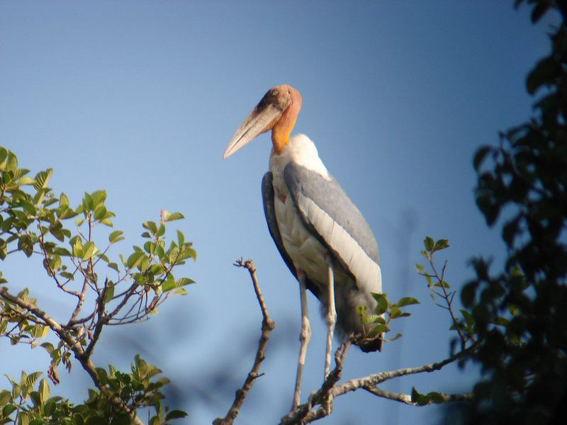A greater adjutant stork perched on a branch.
