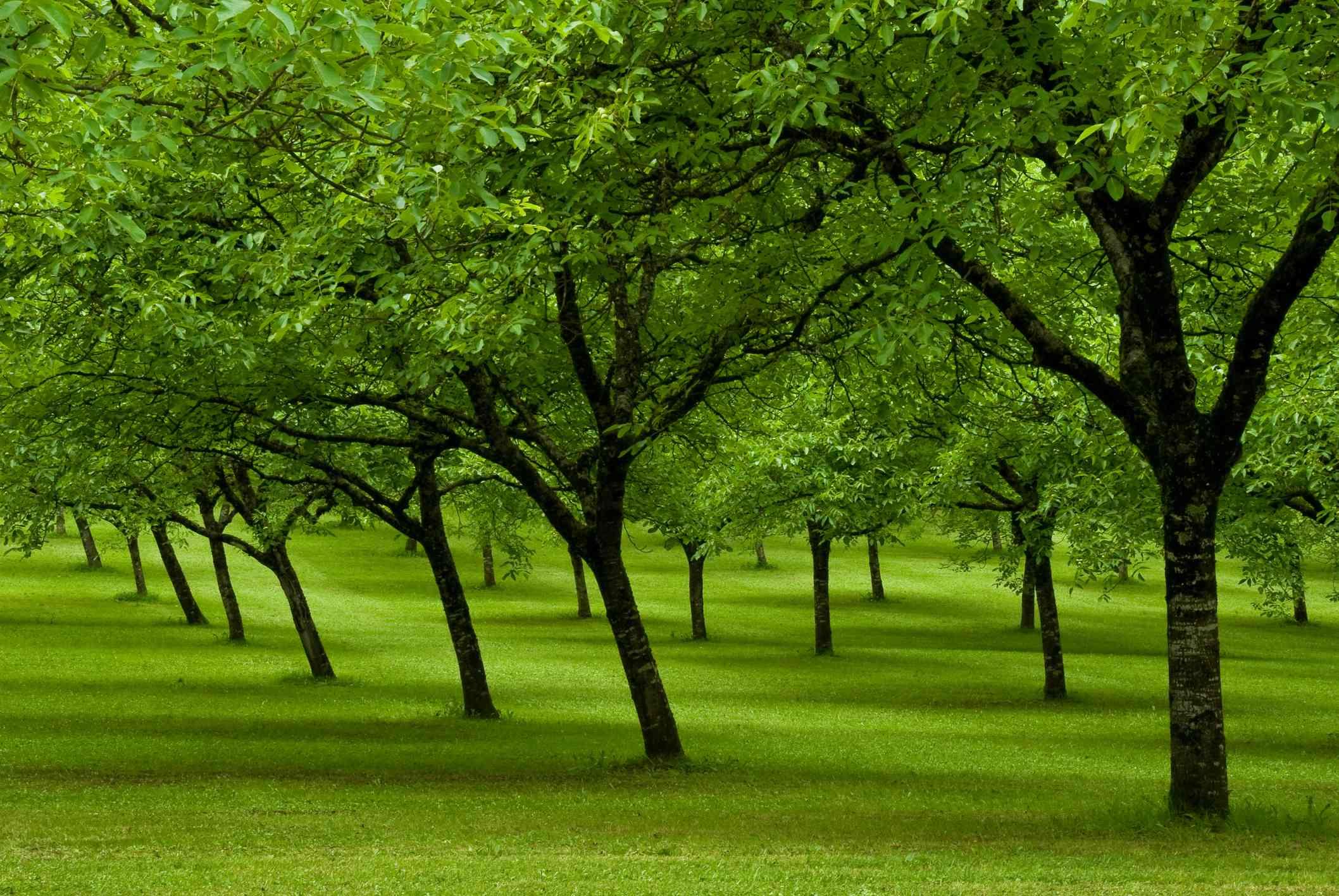 Walnut trees in a green field.