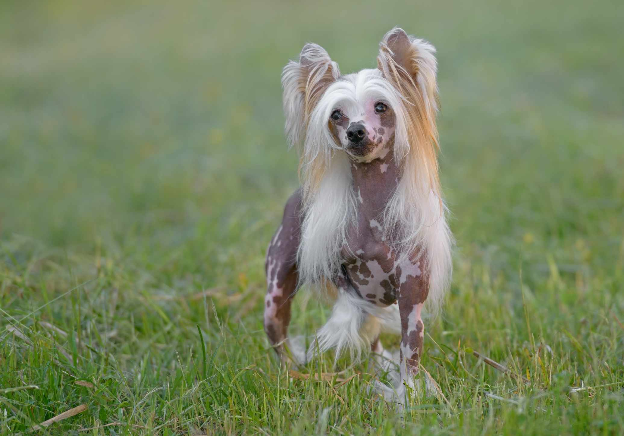Chinese crested dog with shaved gray body and long hair on ears, standing in field