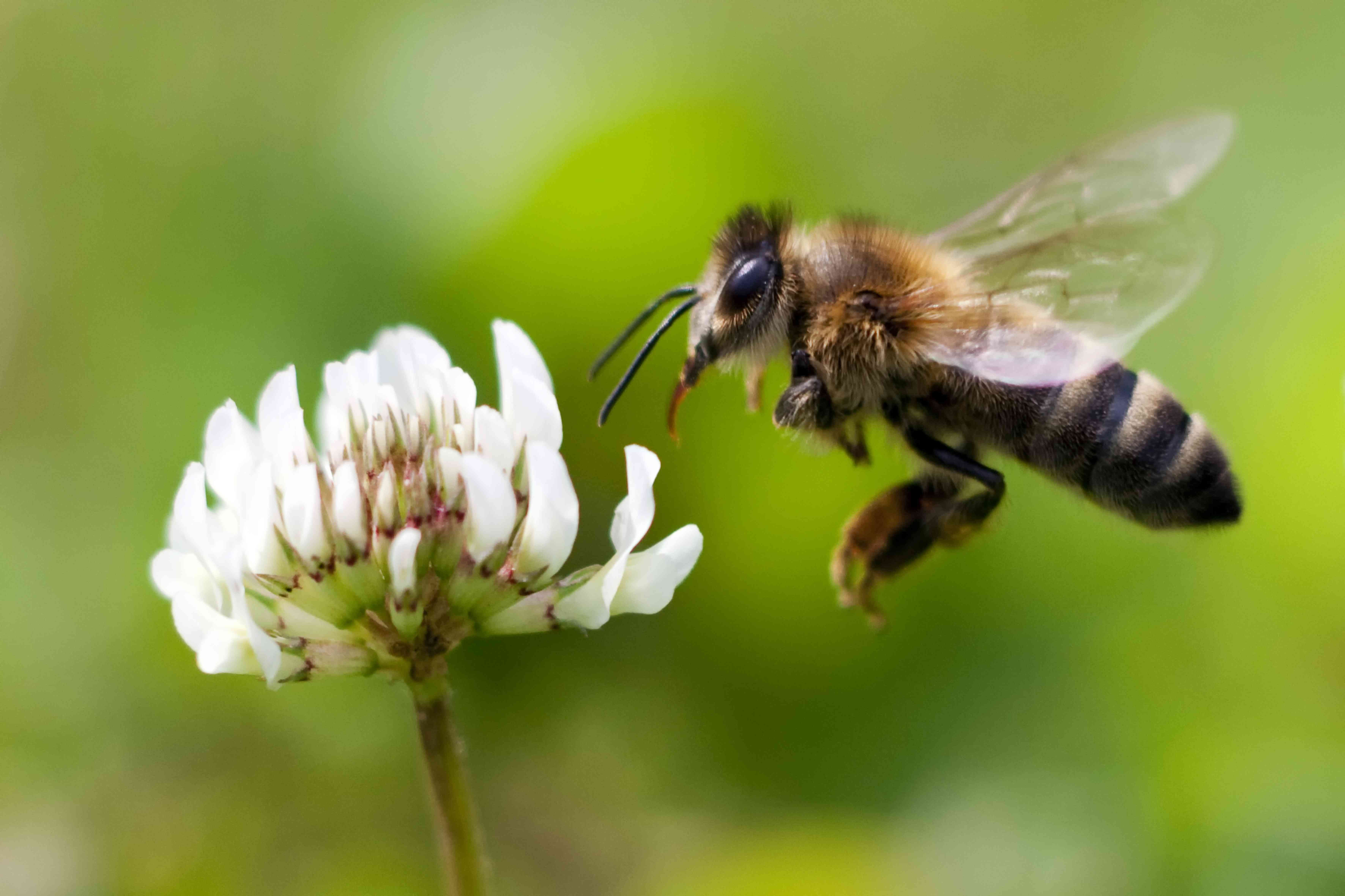 Honey bee flying toward white flower