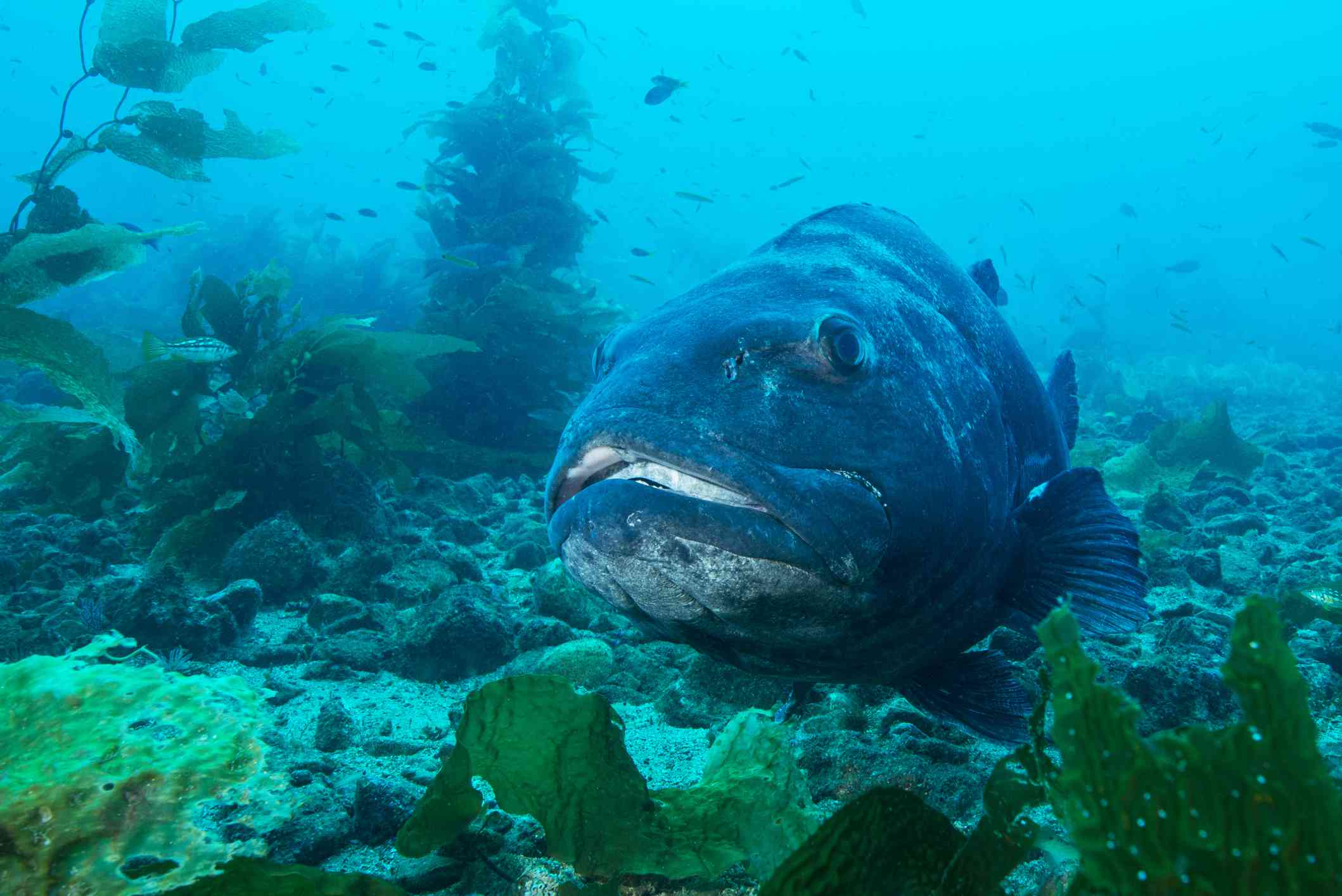 A giant black sea bass in a kelp forest underwater.
