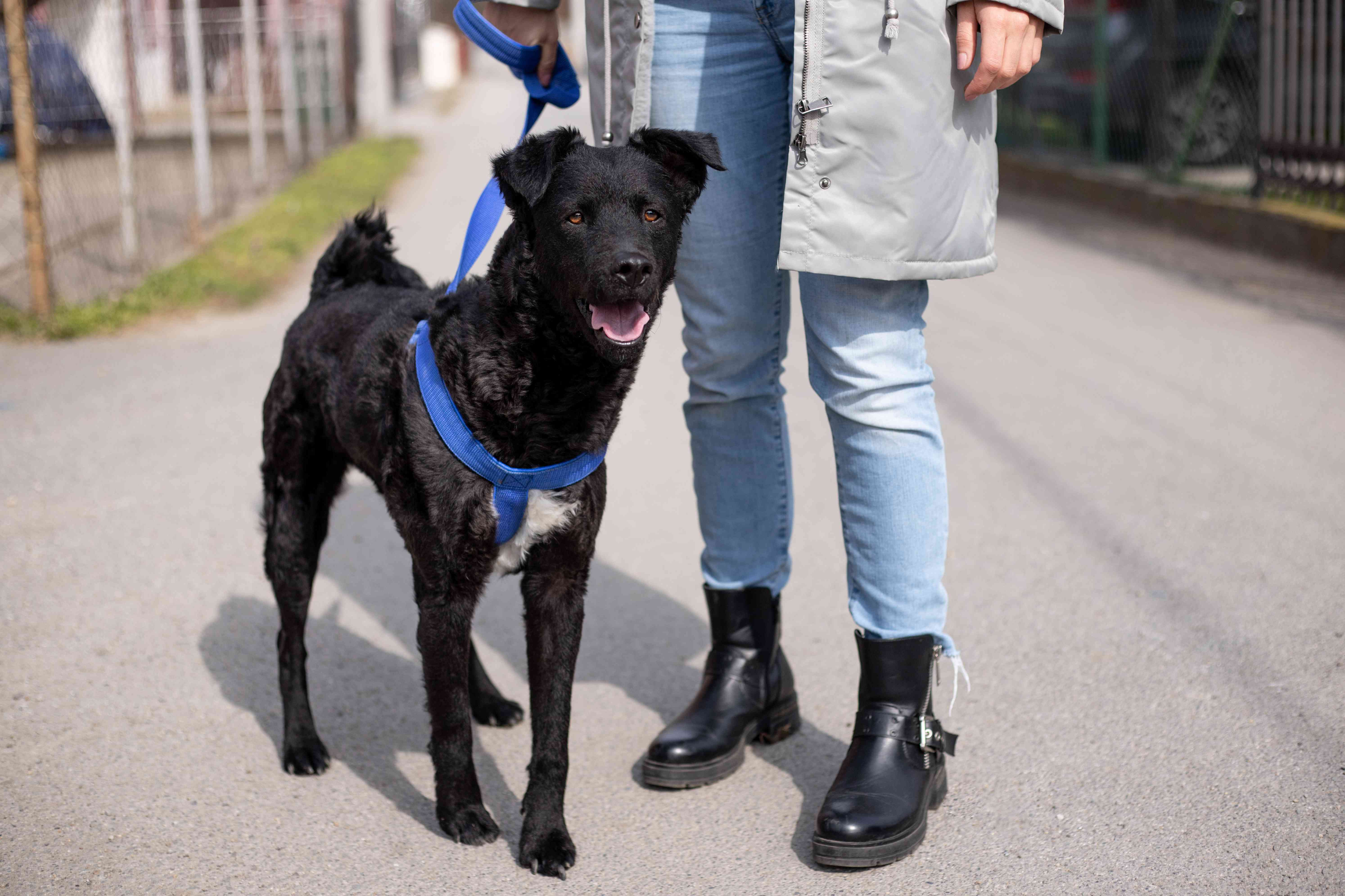 person in coat and boots walks black dog with blue harness outside