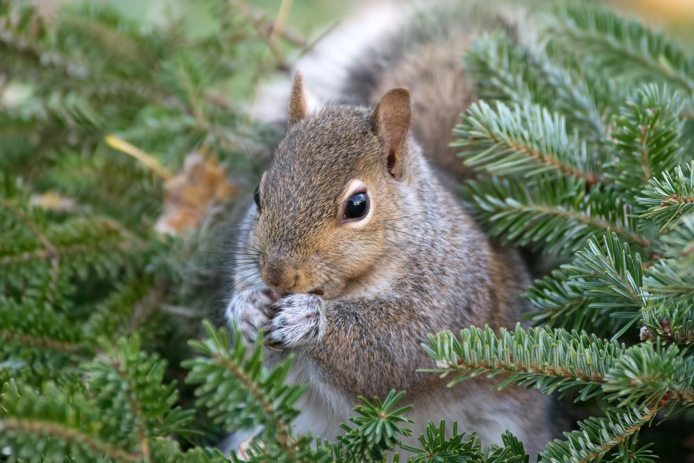 A squirrel in an evergreen tree