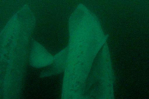 basking sharks fin to fin