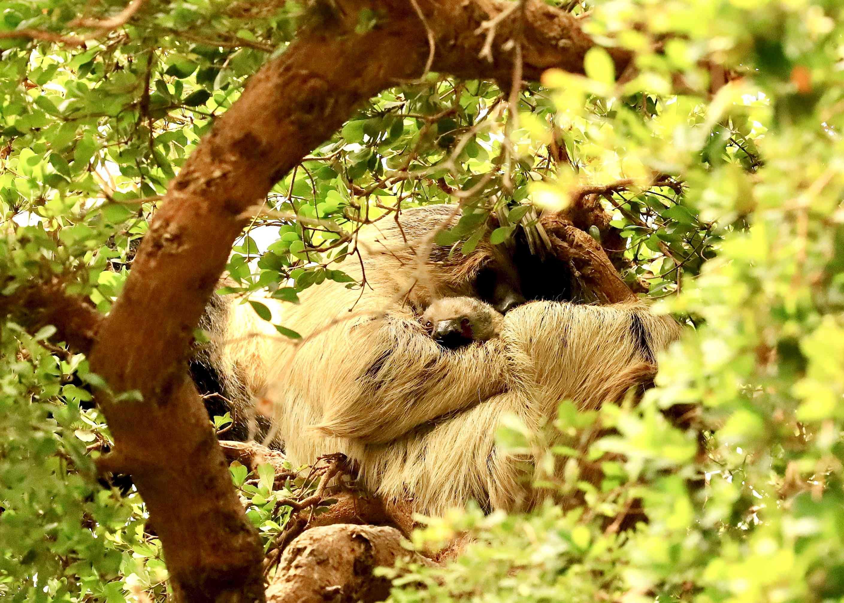 Truffle and Marilyn sloths in tree