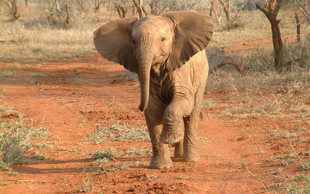 young calf with its front leg up walking along a red clay path