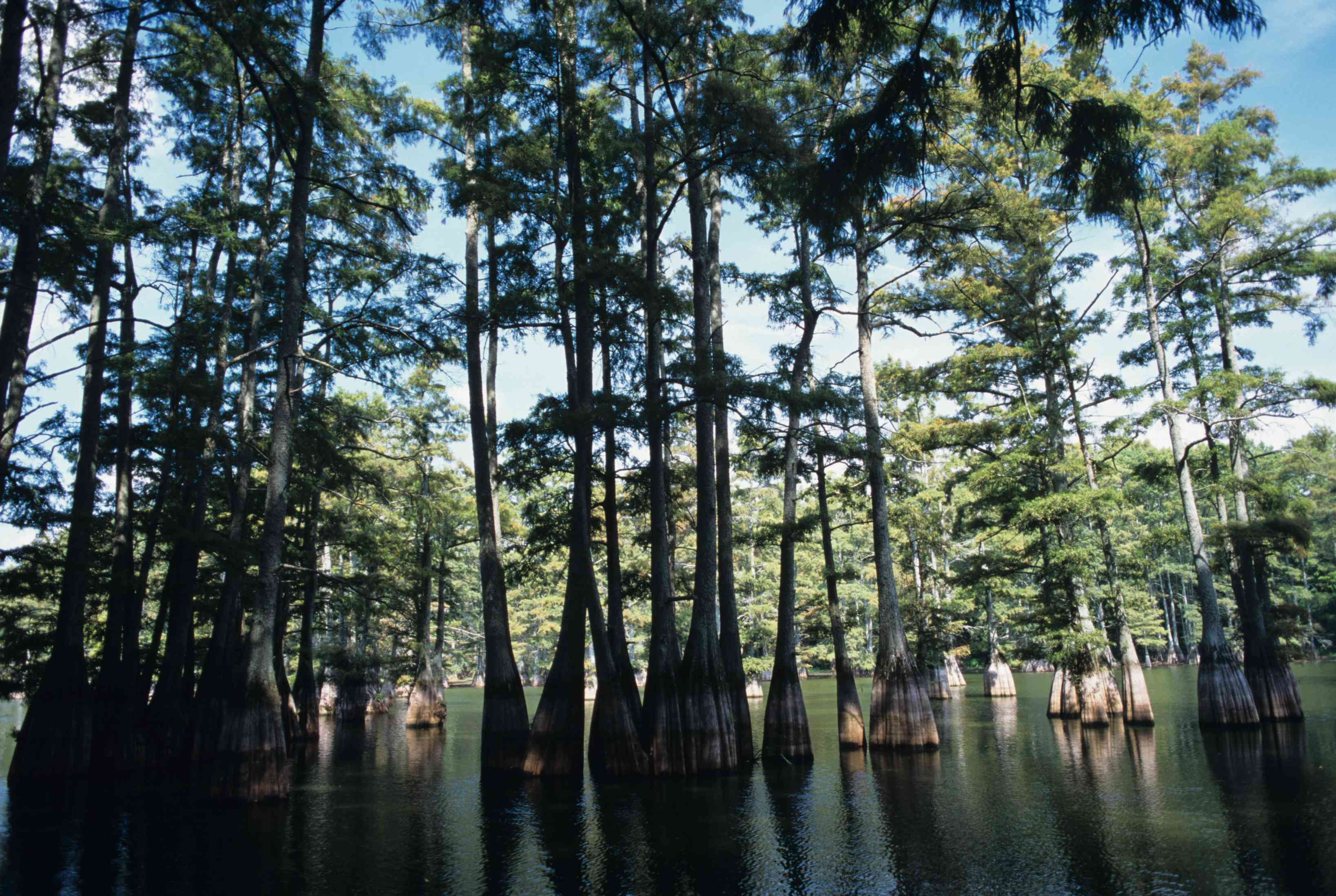 he sun shines through the swamp's trees at the Big Thicket National Preserve