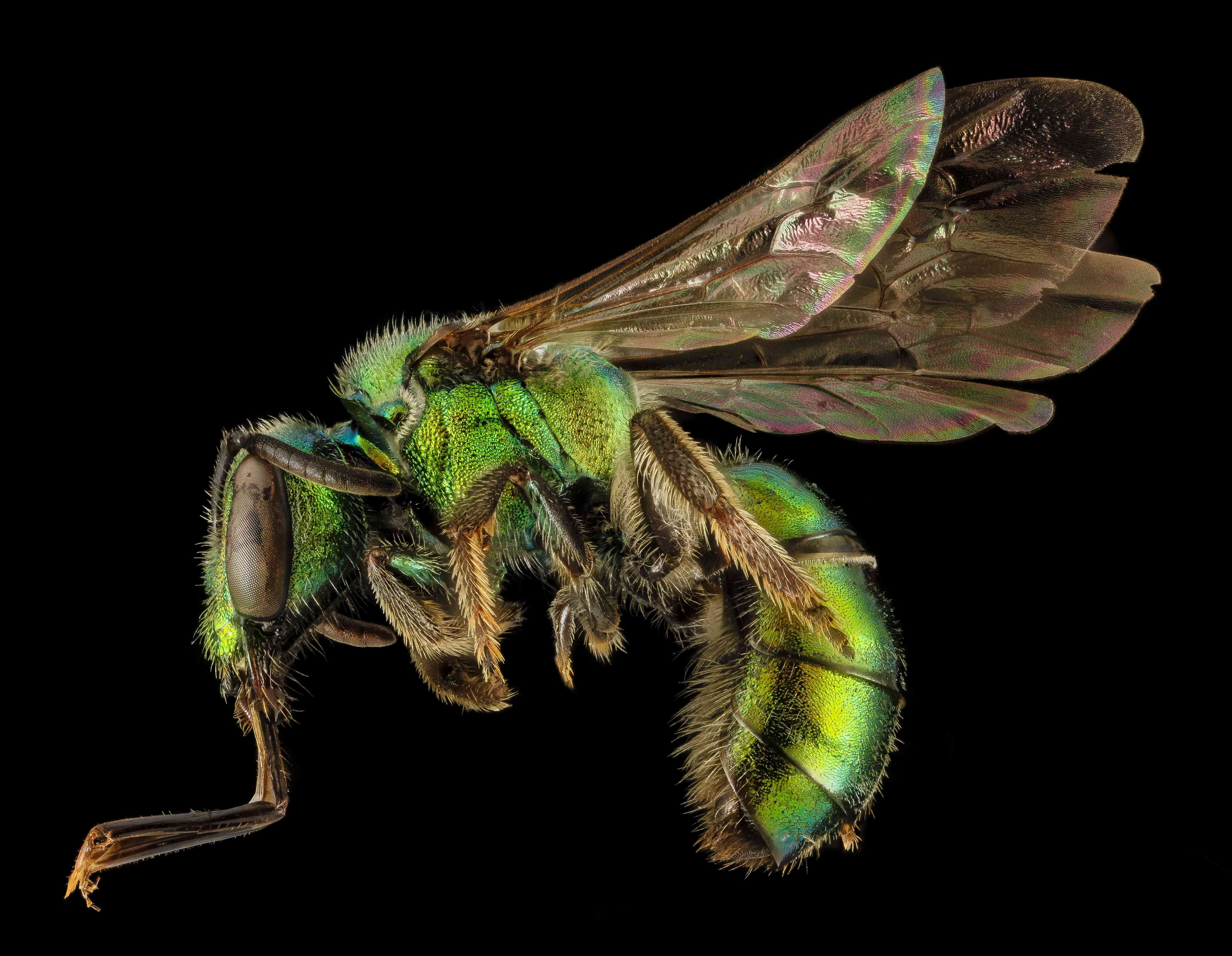 female sweat bee