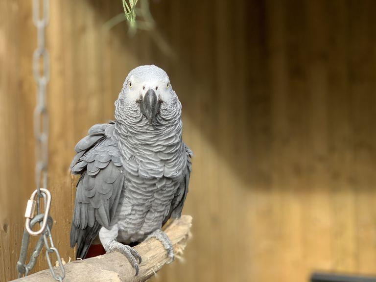 Elsie gray parrot