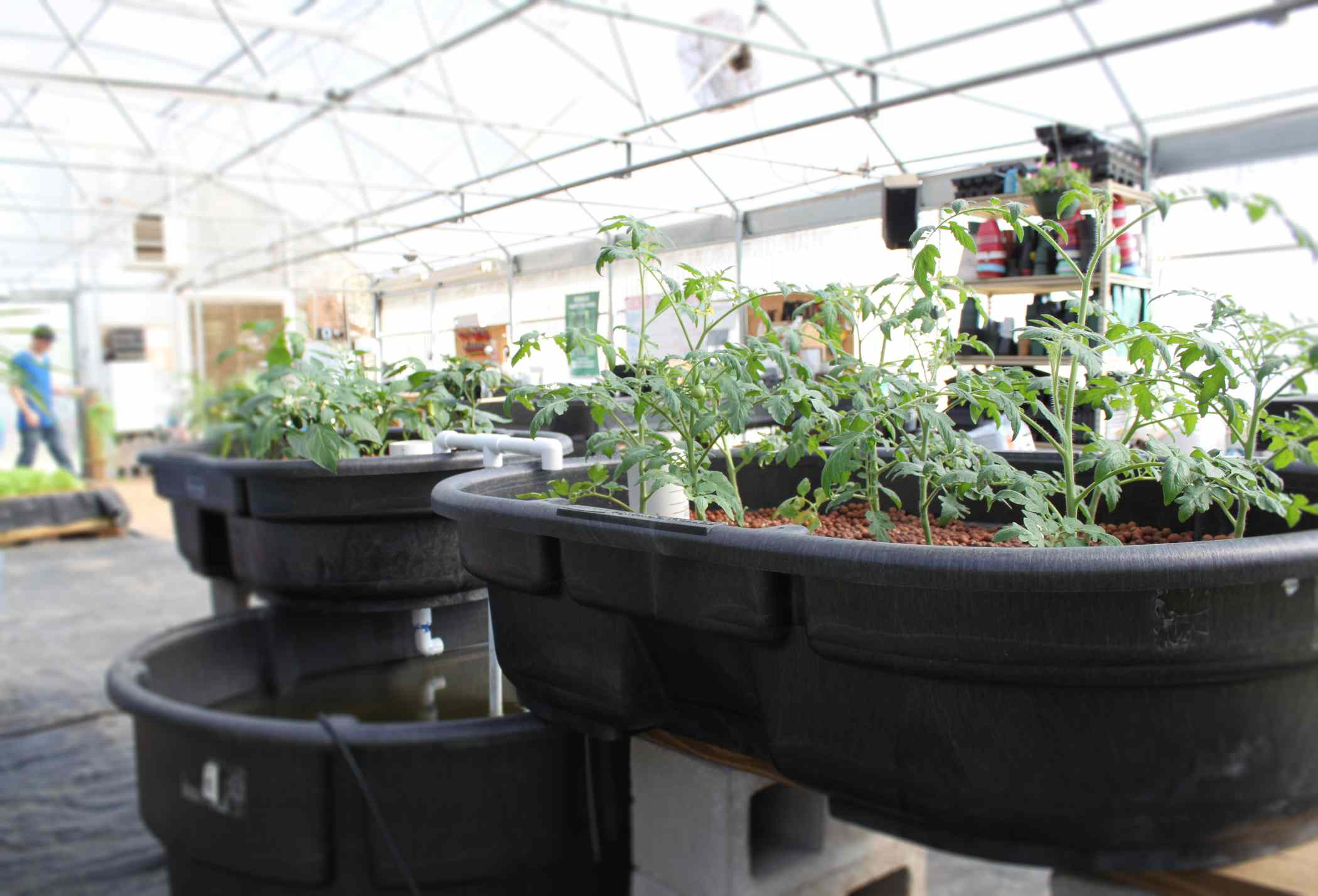 Growing tomatoes in an aquaponic system