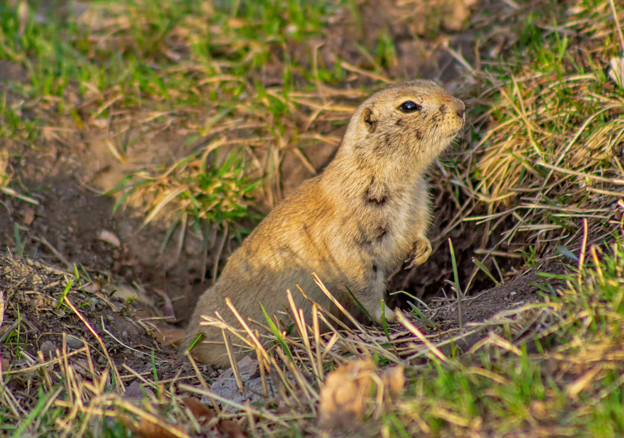 A close up view of a gopher in a grass hole.