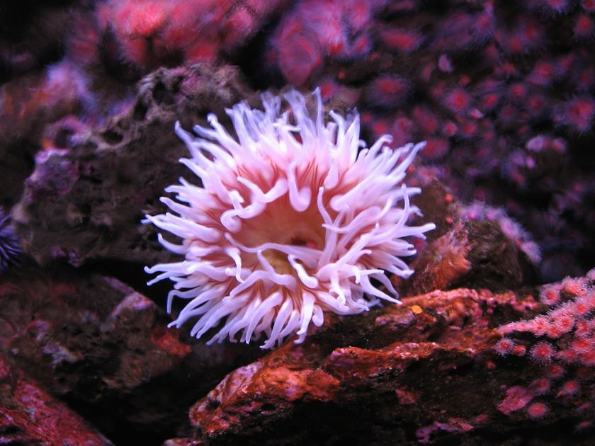 anemone with numerous pink tentacles
