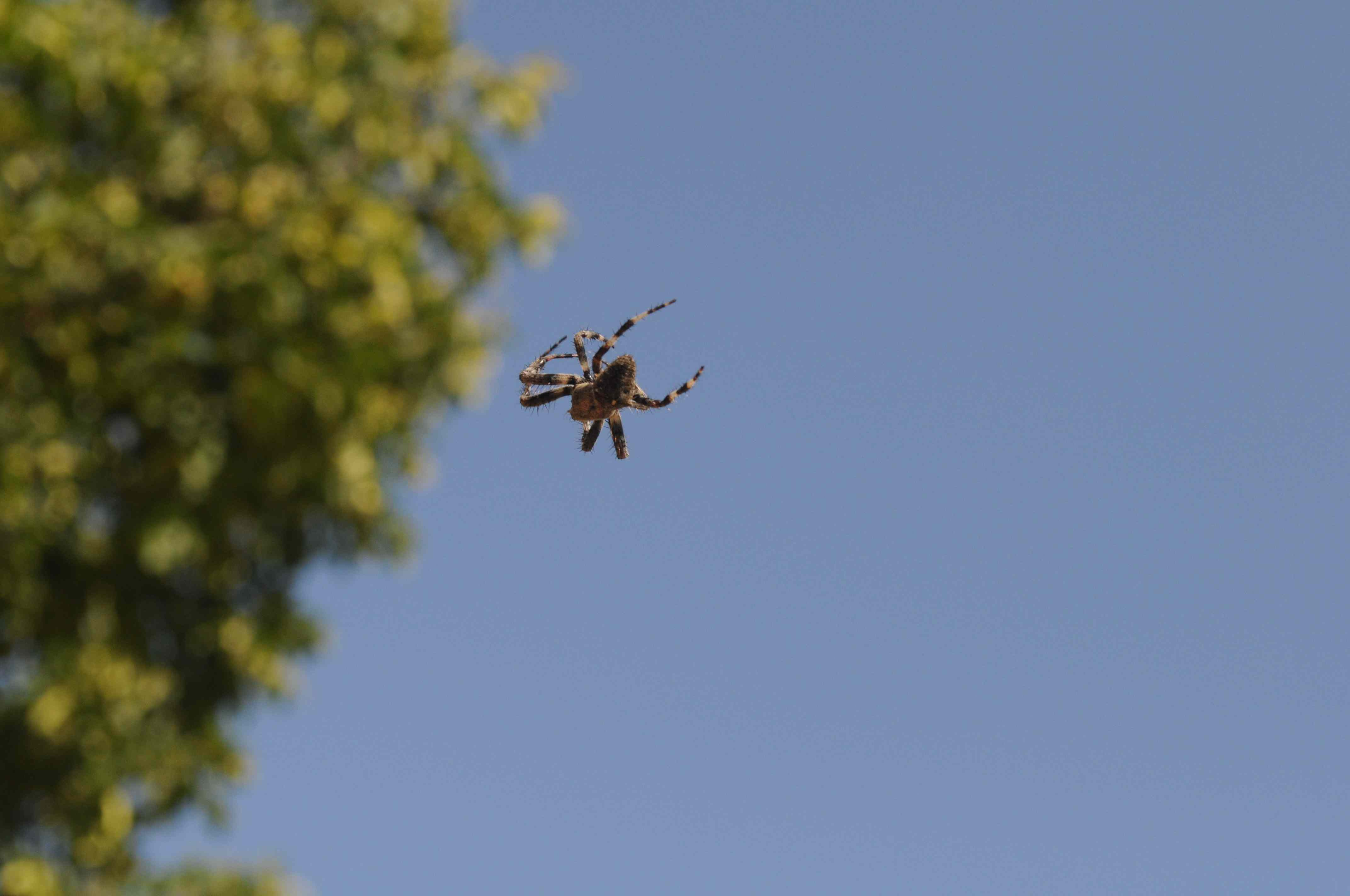 Spider seen in the air with a blue sky in background