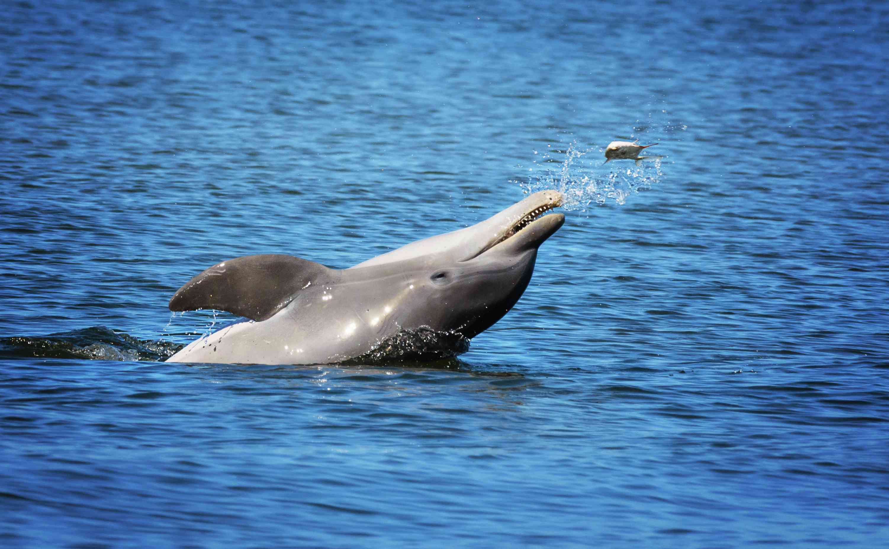 Dolphin tossing a fish