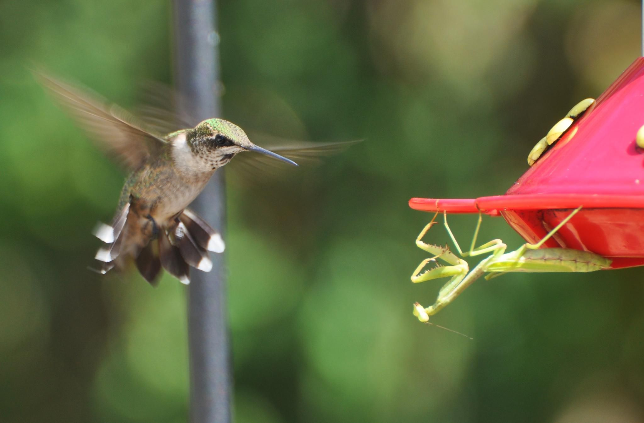 Hummingbird hovering next to a feeder where a praying mantis is waiting