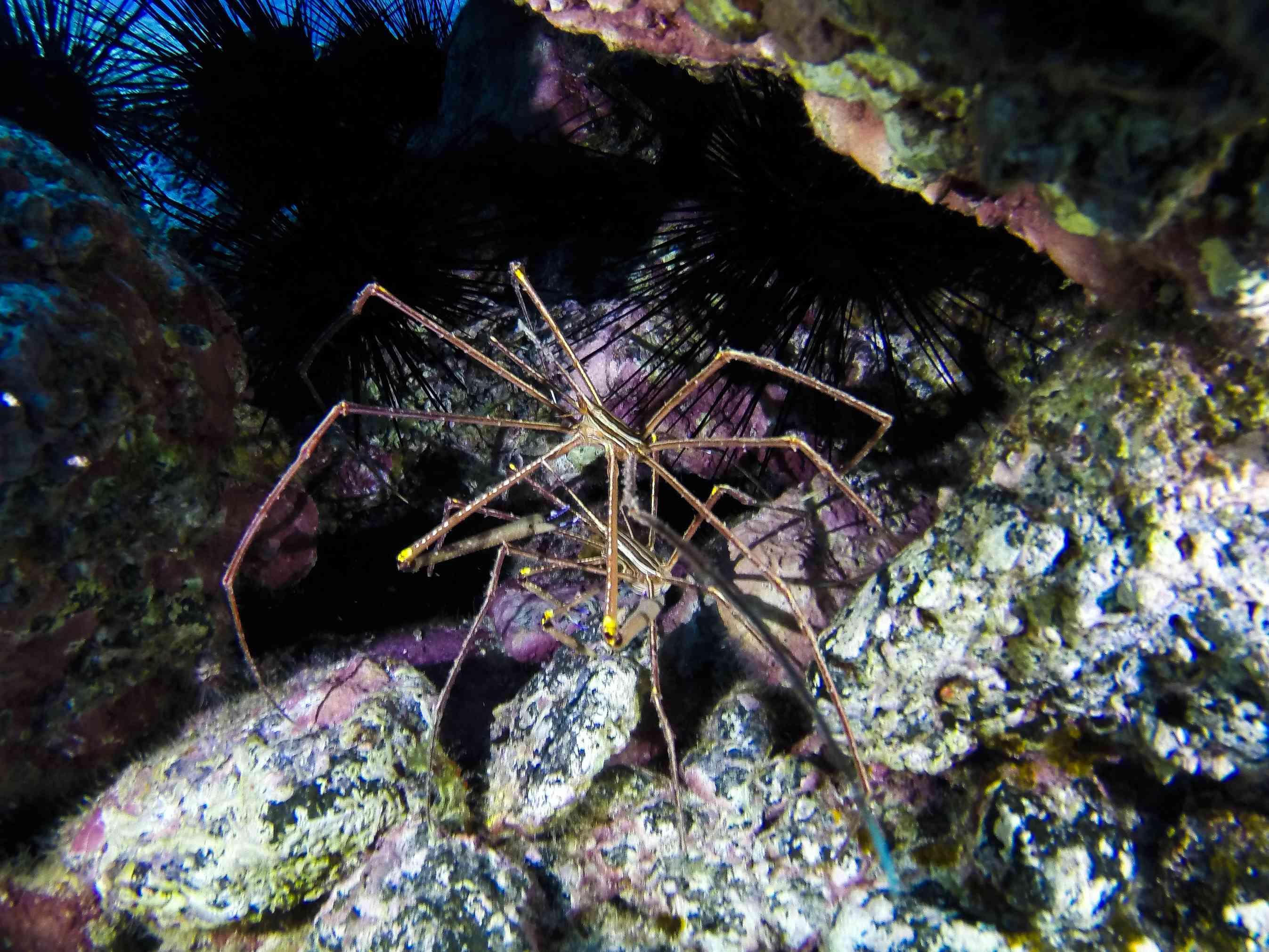 Sea spider on rocks