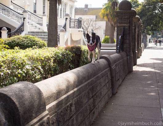 Niner walks along a wall