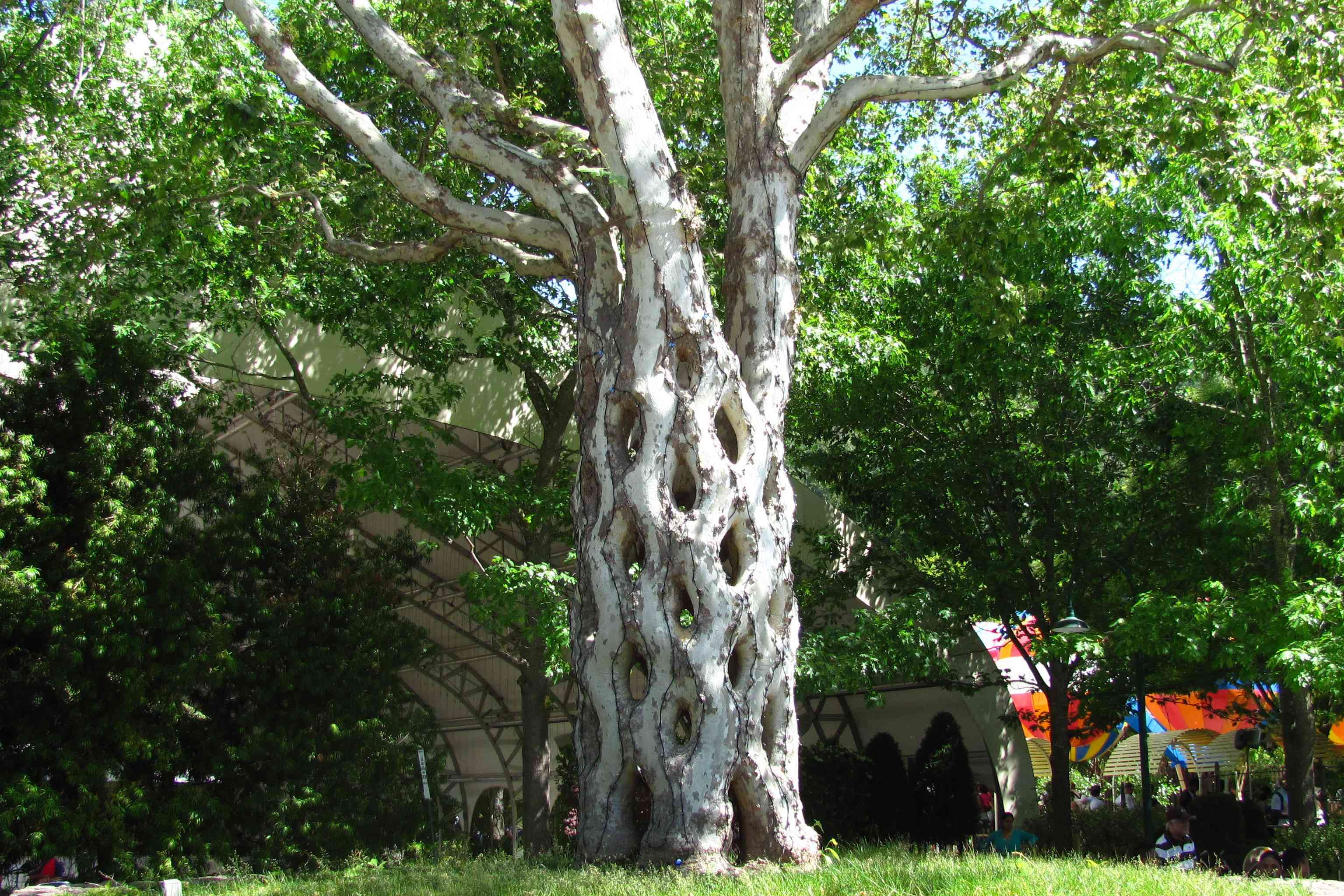Circus tree at Gilroy Gardens with a latticed trunk