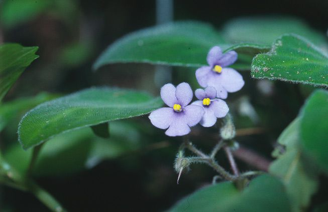 African violets growing in the wild