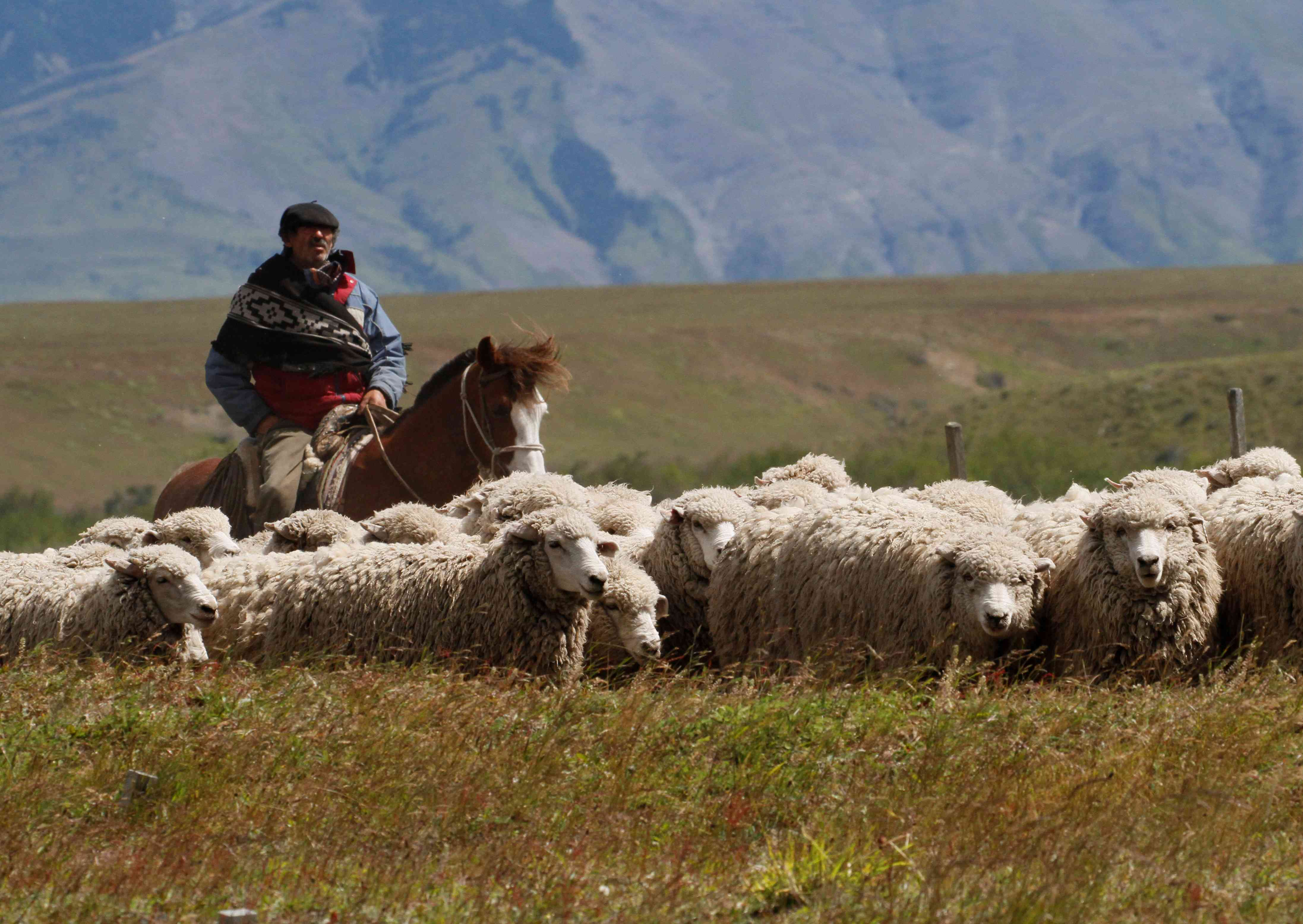 rancher with sheep in Patagonia