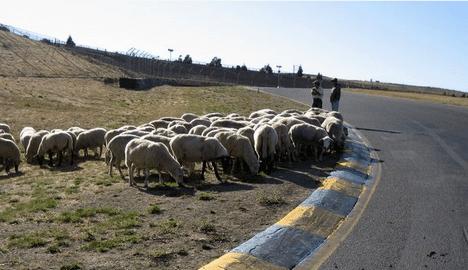 solar-powered nascar sheep photo
