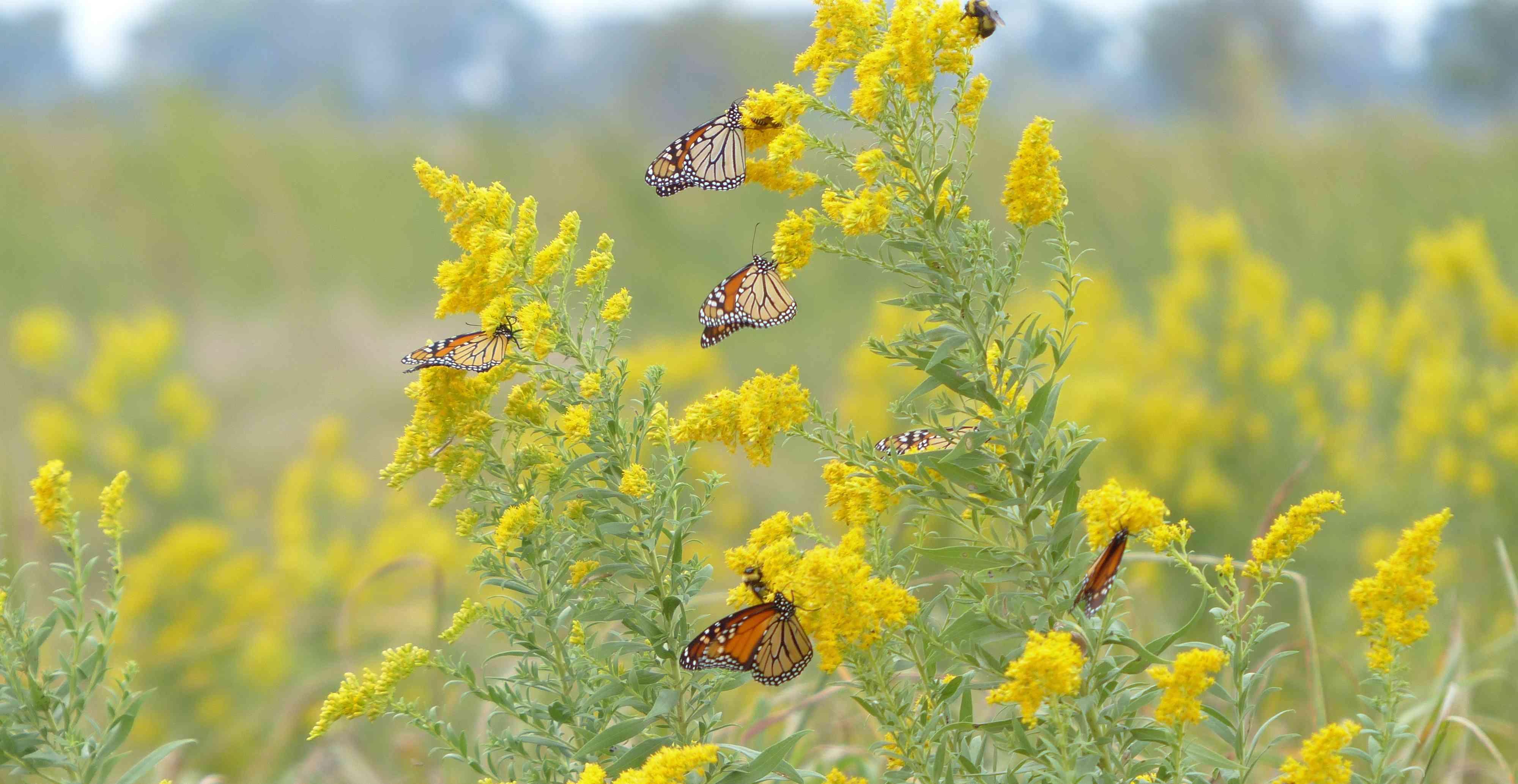 monarch butterflies on goldenrod