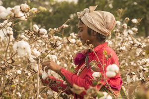 A woman in a field of organic cotton crop