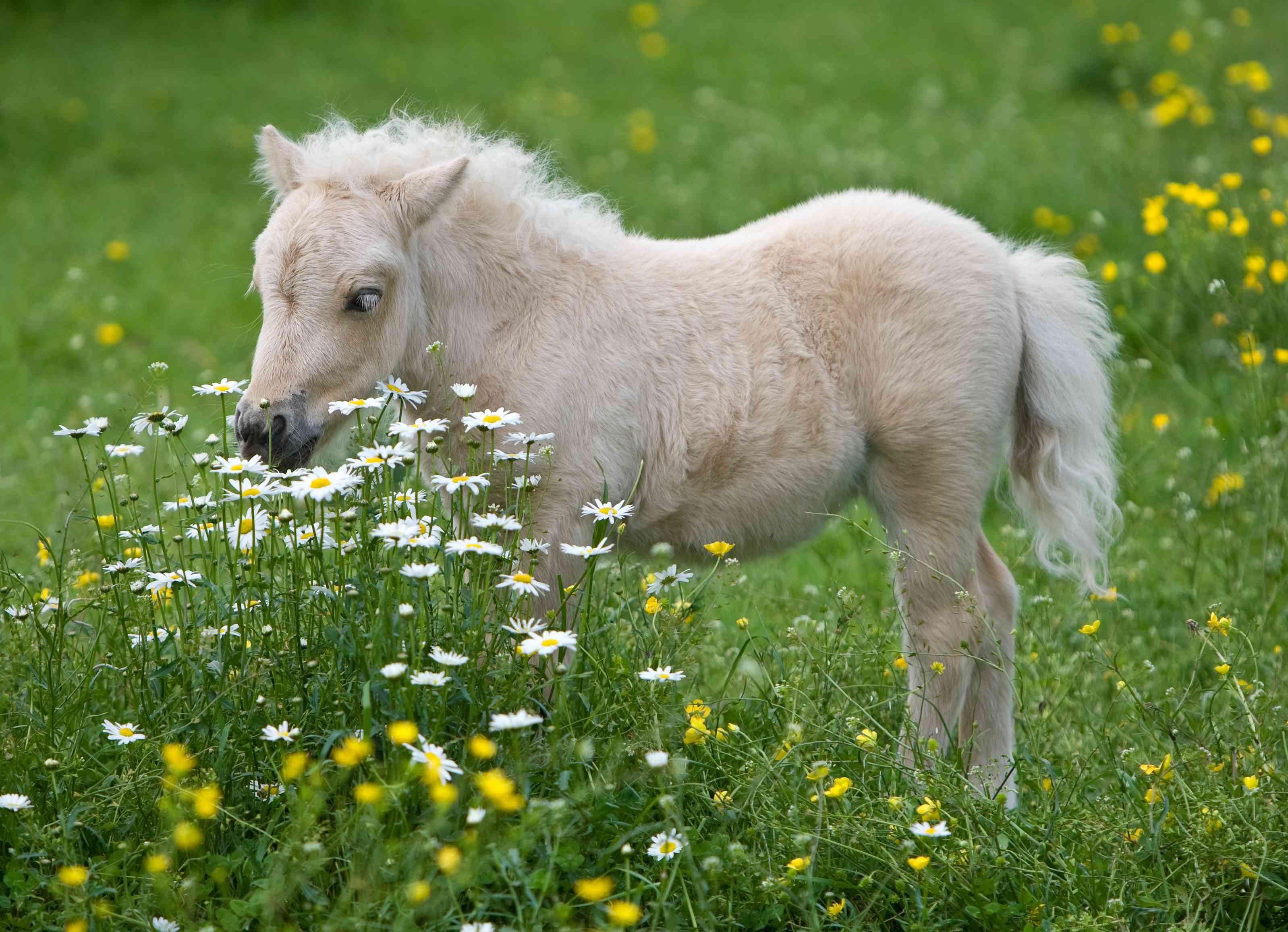 A falabella foal grazes in a flower-filled meadow