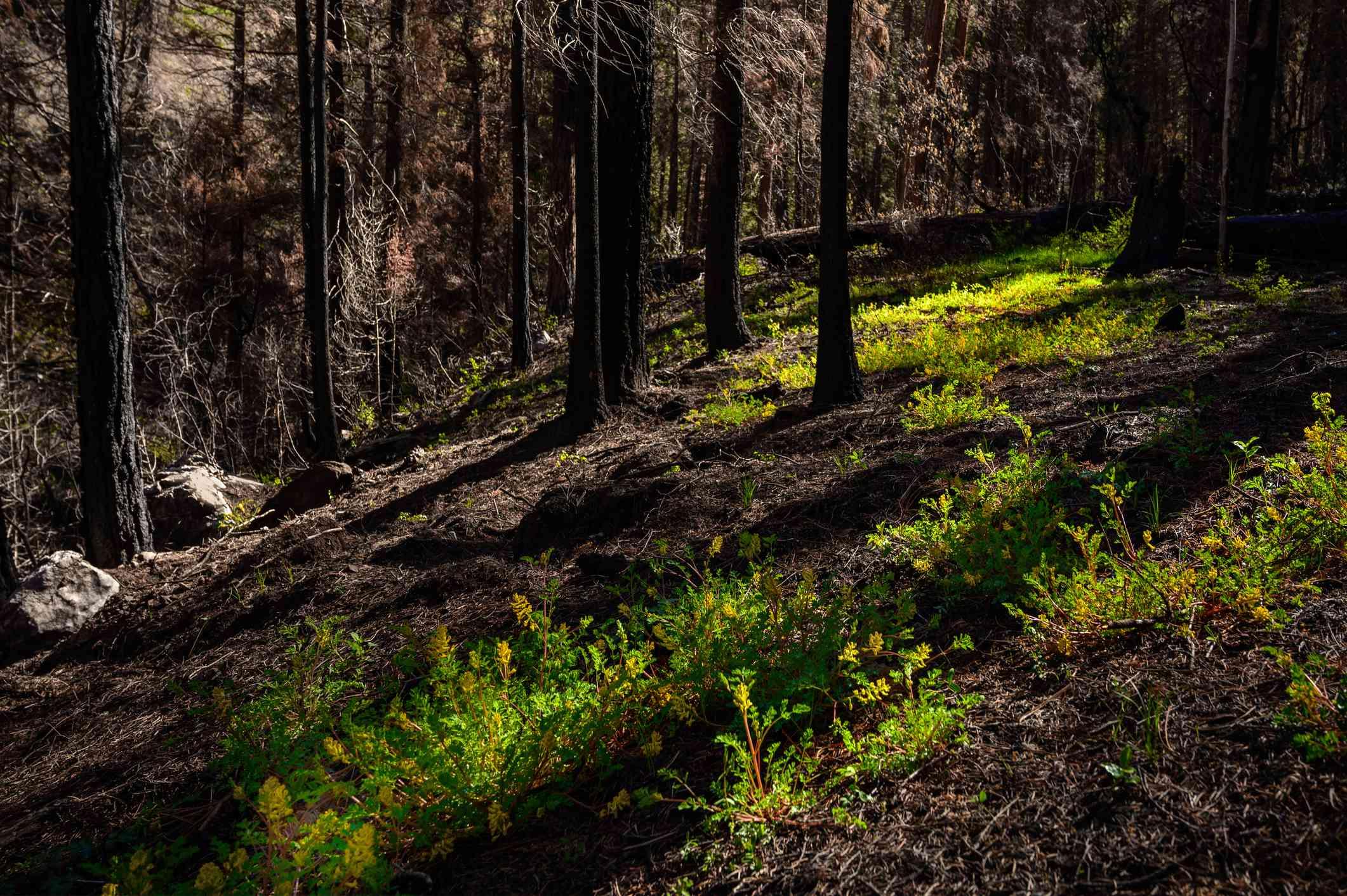 Sunlight on Yellow Wildflowers in Burnt Forest Hillside