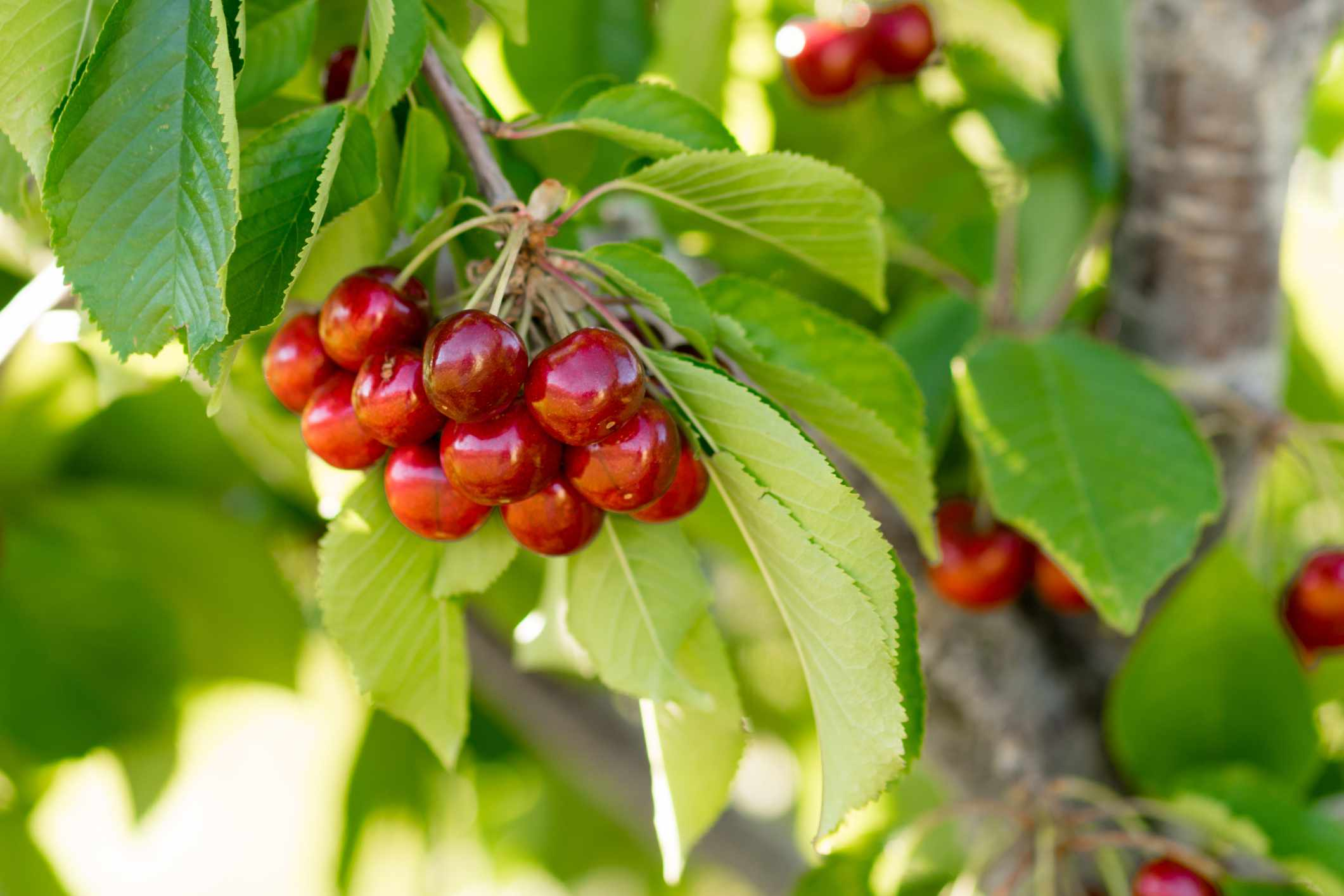 Cherries hanging on a tree surrounded by green leaves.
