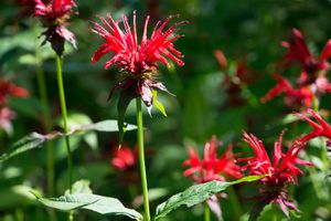 Bright red, crown-like flowers stand amid green foliage