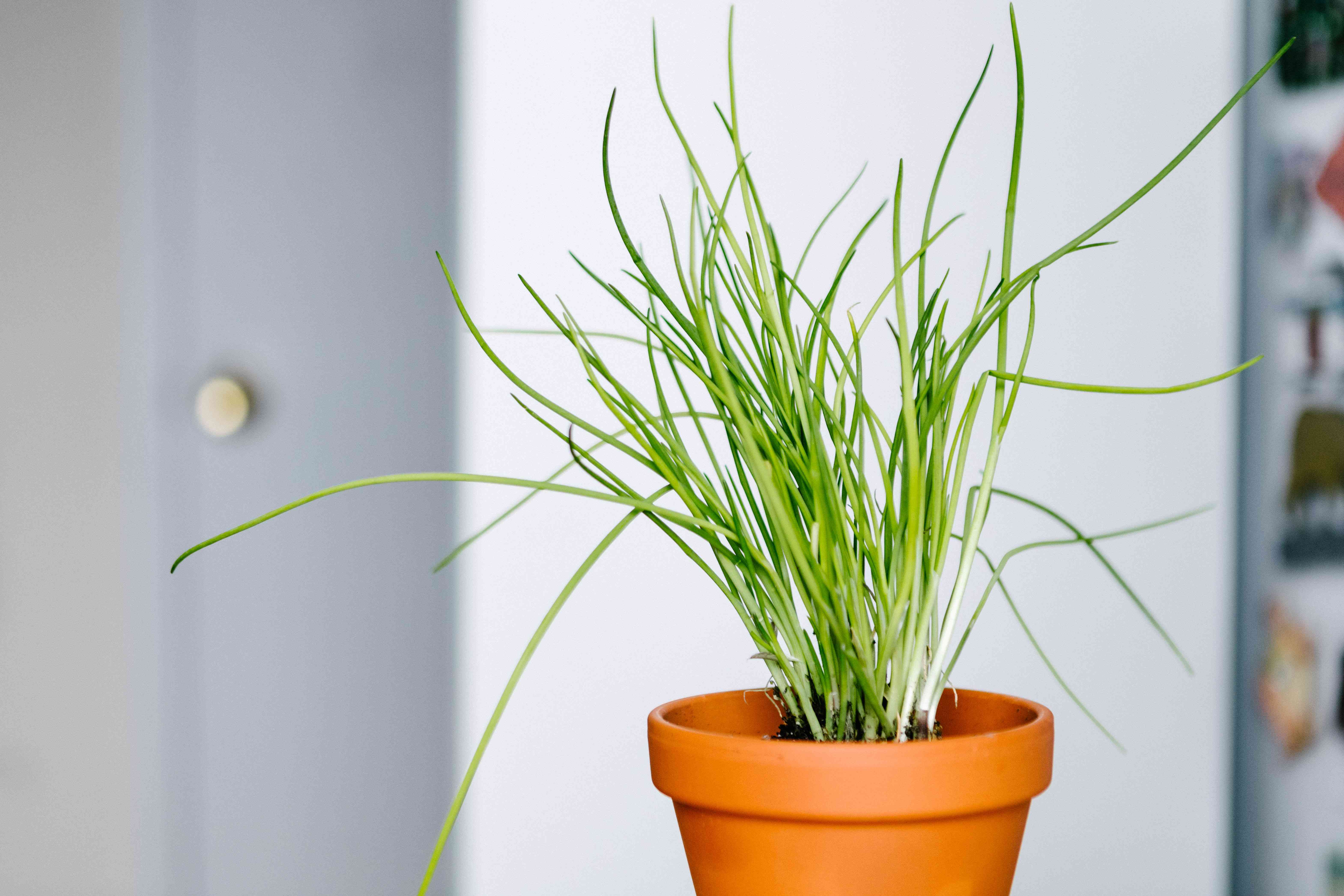 bright green chives plant in terra cotta pot in white indoor room