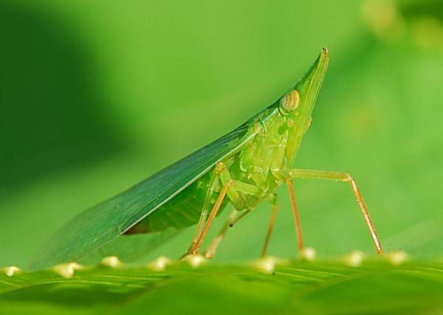 This green treehopper resembles a leaf