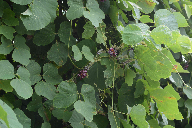 kudzu vines with flowers emerging
