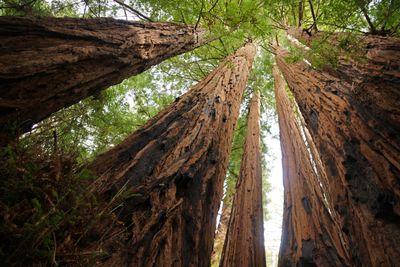 Grove of coast redwoods