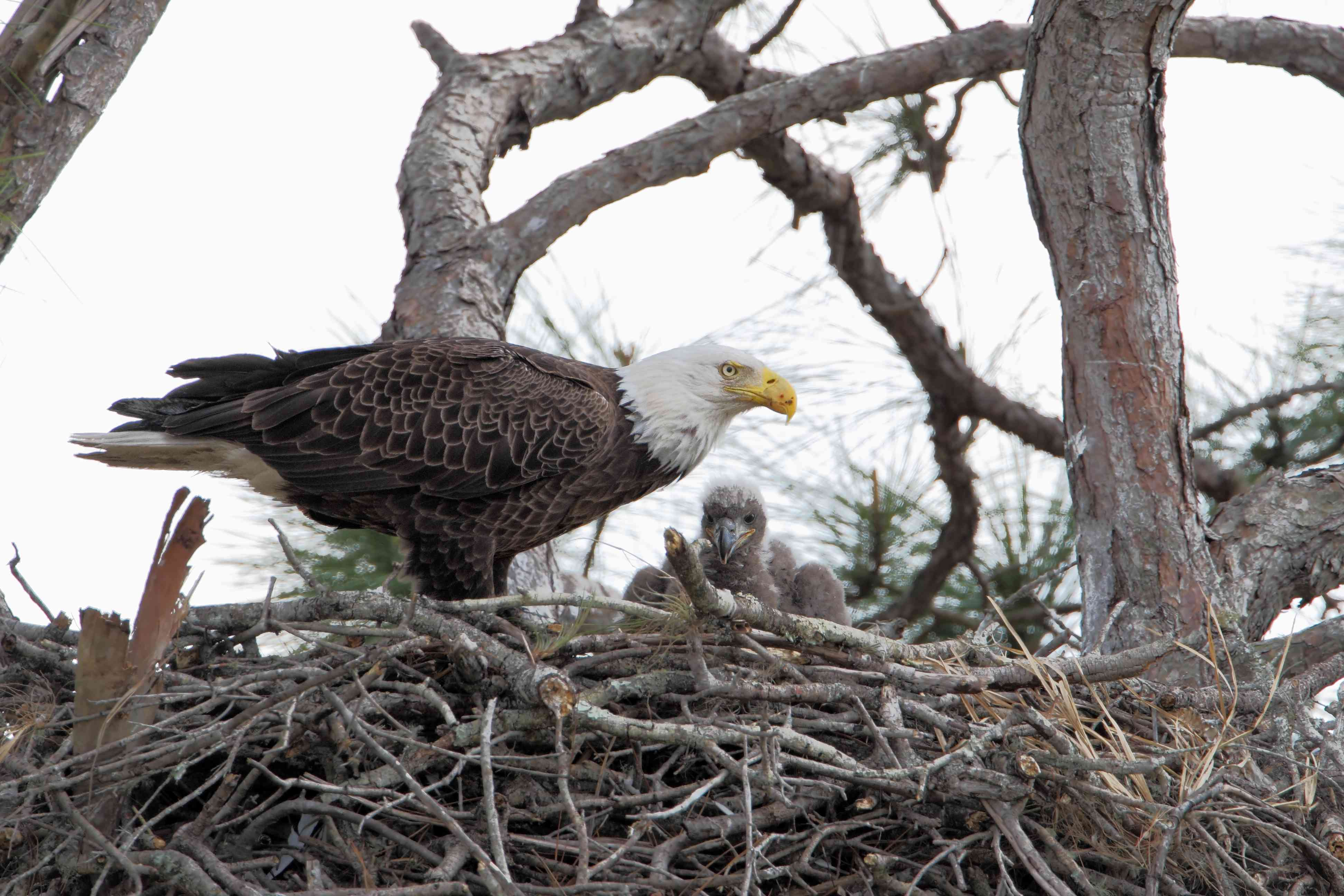 bald eagle adult with chick in nest