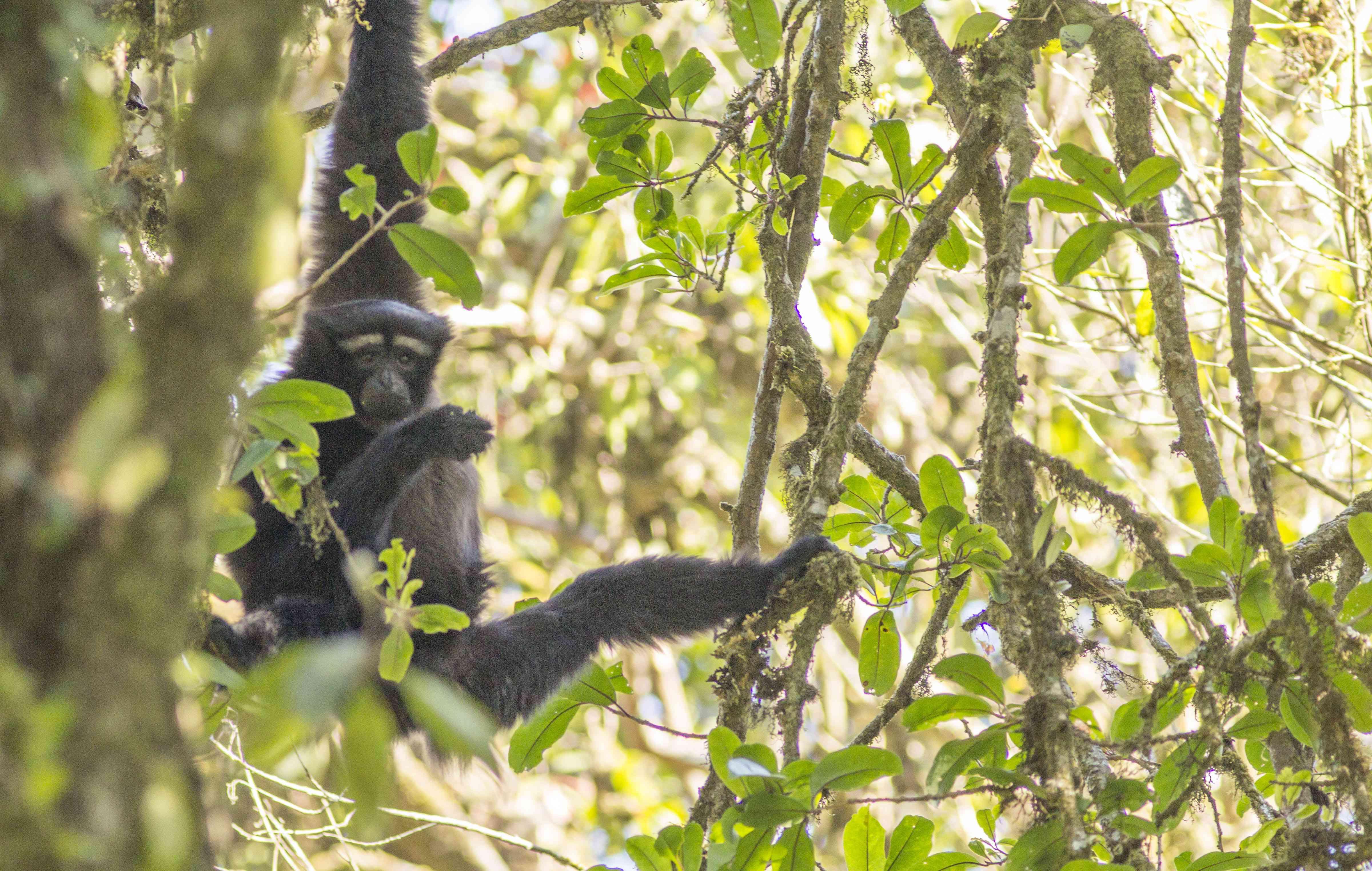 endangered Skywalker hoolock gibbon in trees