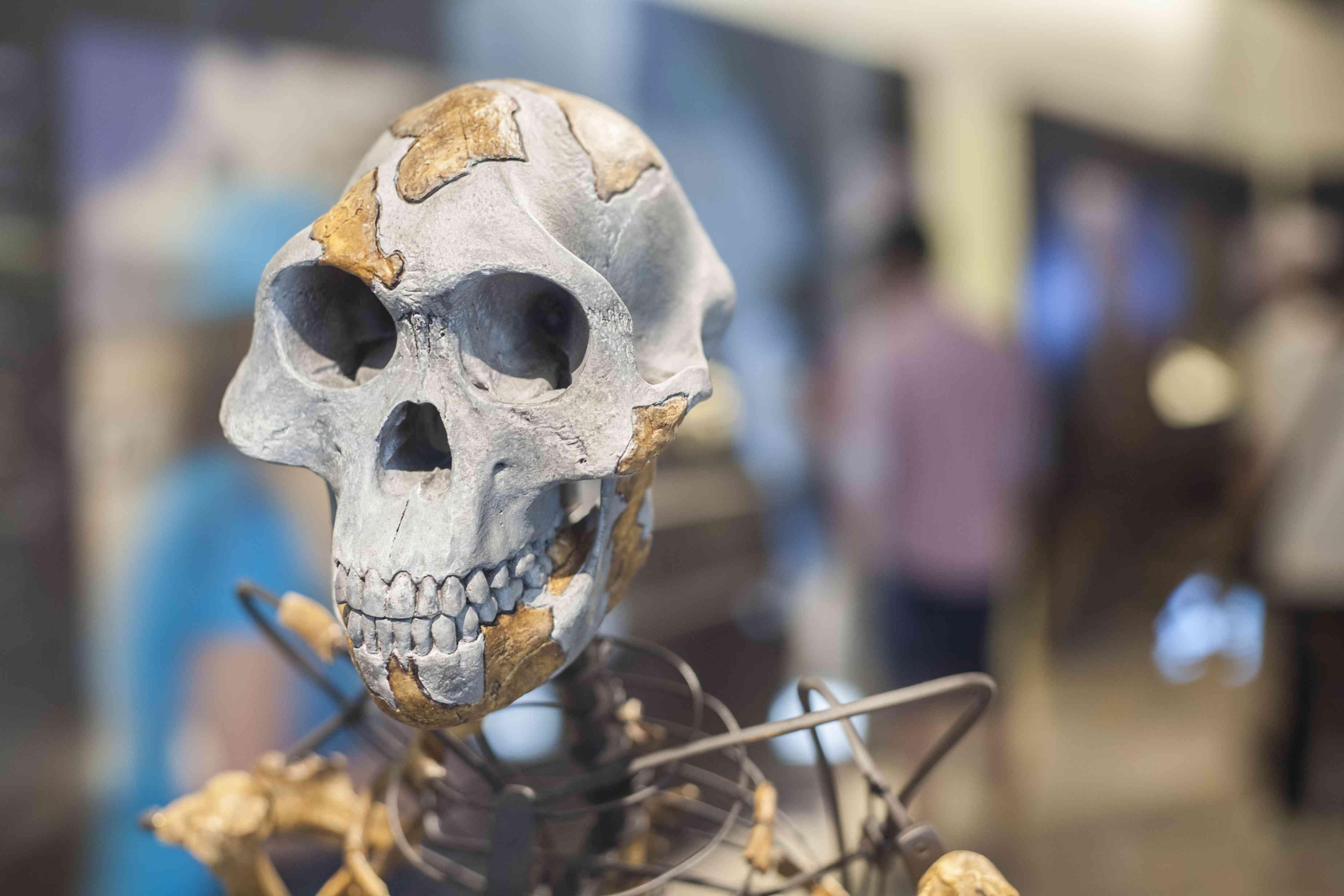 skull and skeleton of Lucy, Australopithecus afarensis