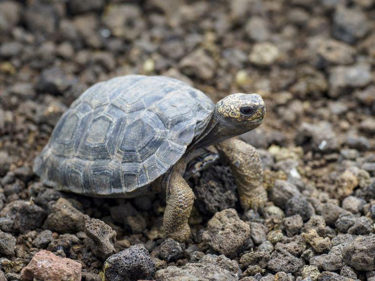 Young Galapagos Giant Tortoise