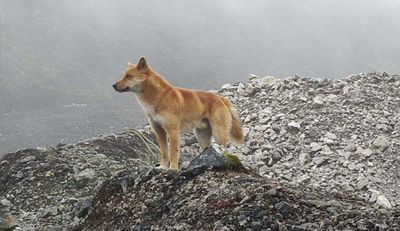 Highland wild dog photographed in Indonesia