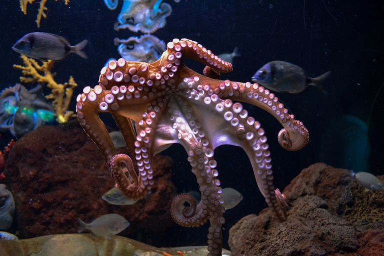 Bottom view of a reddish-colored octopus in dark waters next to coral and fish