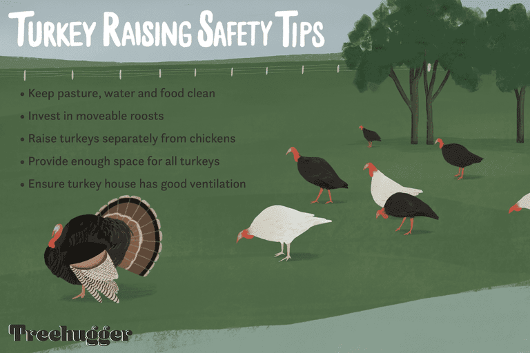 turkey raising safety tips illustration